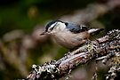 White Breasted Nuthatch - Ottawa, Ontario by Michael Cummings