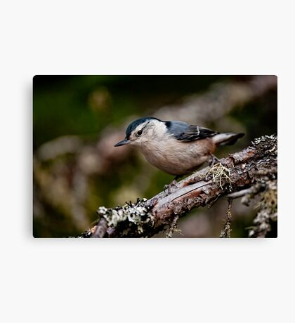 White Breasted Nuthatch - Ottawa, Ontario Canvas Print