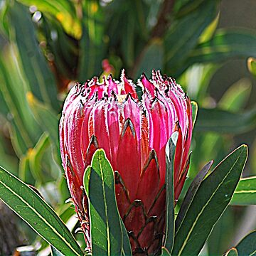 Perfect Protea by GriffMAD