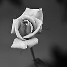 Rose by Caroline Gorka