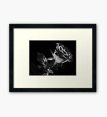 One Lovely  Rose. Framed Print