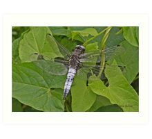 male Scarce Chaser dragonfly Art Print