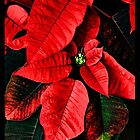 Red Christmas Flower Poinsettia by A little more Whirl