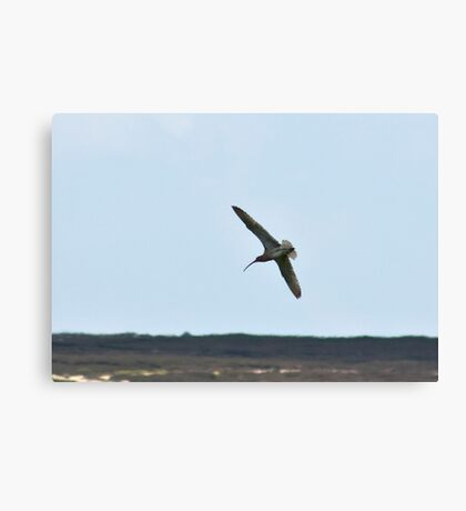Curlew above the Moors Canvas Print