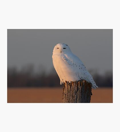 Male Snowy owl on a post Photographic Print