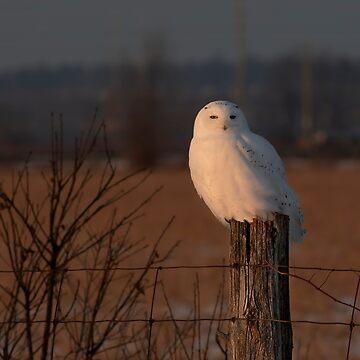 Male Snowy Owl by darby8