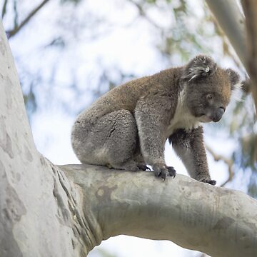 Koala out on a Limb by imaginethis