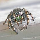 Jumping Spider (Salticidae) by MotherNature