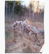 Late Year Goldenrod Poster