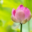 Flowering Lotus by Irina Chuckowree