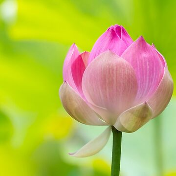 Flowering Lotus by chuckirina