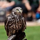 Barking Owl by margotk
