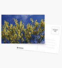 Sydney Golden Wattle Postcards
