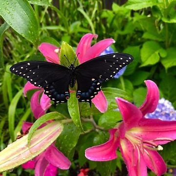 Black WInged Butterfly with Pink Lily FLower by WigOutlet