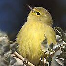 Chubby Warbler (Orange-crowned) by tomryan