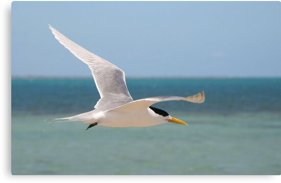 Crested Tern in flight by Martin Pot