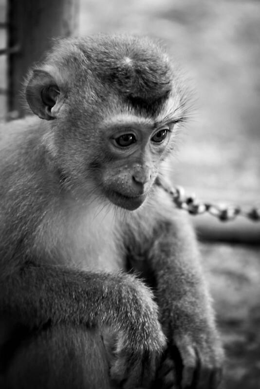 Waiting monkey black amp white by Martin Pot Redbubble