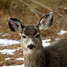 Sweet fawn! by SharNphotoZ