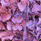 Hydrangea Mania von sienebrowne