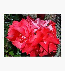 Beautiful Roses Photographic Print