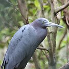 Little Blue Heron by D R Moore