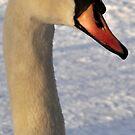 Swan Portrait by KChisnall