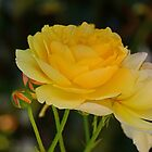 Graham Thomas - A golden David Austin rose  by imaginethis