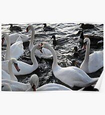 Swan Rampage!! Poster