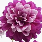 Purple dahlia by Newstyle