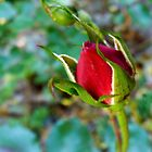A tiny rosebud in october by bubblehex08