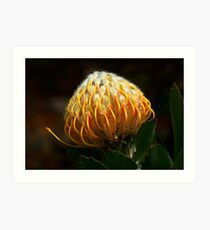 Protea (Native of South Africa) Art Print