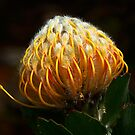 Protea (Native of South Africa) by Dianne English