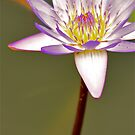 Lily by Julian Fulton-Boote