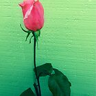 pink rose, green wall 12/07/18 by Shellaqua