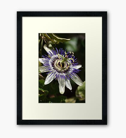 Flower-Passion fruit  Framed Print