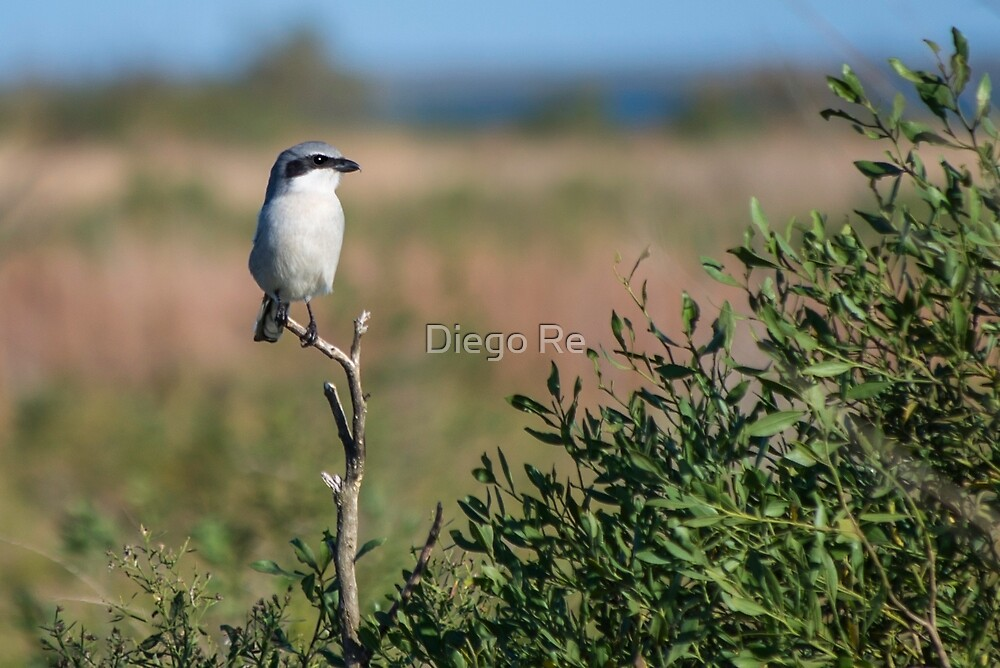 Loggerhead Shrike by Diego Re