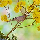 NT ~ HONEYEATER ~ Dusky Honeyeater by David Irwin by tasmanianartist