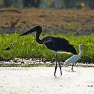 NT ~ STORK ~ Black-necked Stork (Jabiru) by David Irwin by tasmanianartist