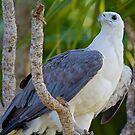 NT ~ RAPTOR ~ White-bellied Sea-Eagle by David Irwin by tasmanianartist