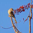 NT ~ TRILLER ~ White-winged Triller by David Irwin by tasmanianartist