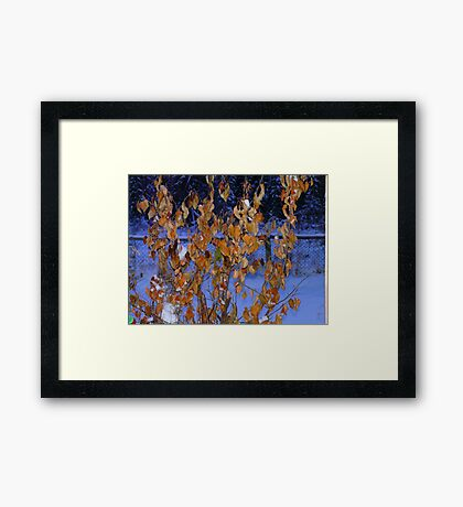 Golden Leaves on An Apple Tree in Jan, Framed Print
