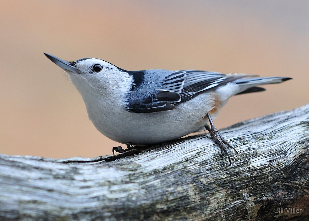White Breasted Nuthatch by Bill Miller