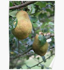 Bosc pears Poster