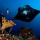 Manta in Coral Reef by Carlos Villoch