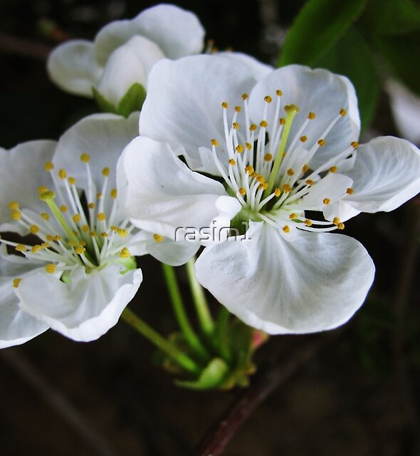 Sourcherry blossoms by rasim1