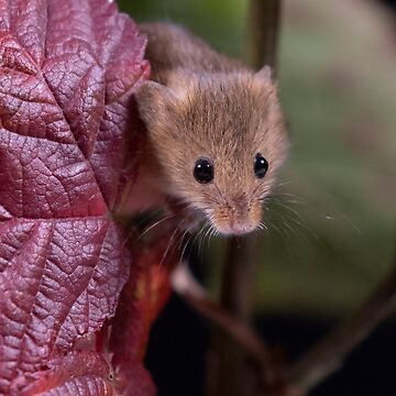 Red Leaf Harvest Mouse by FXST