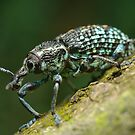 Diamond Weevil by Andrew Trevor-Jones