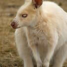 Albino Australian Wallaby by Meaghan Roberts