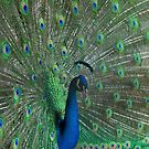 Peacock showing off big time by BronReid