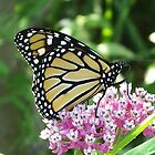 Monarch Butterfly by Tracy Wazny